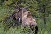 Moose on the Denali National Park Tundra tour.