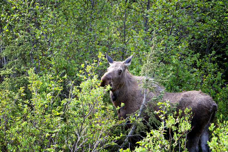 MOOSE! Exploring the Denali Highway with our guide Heidi.