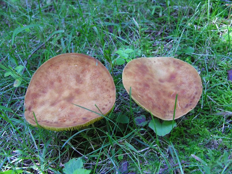 Fungi (52)