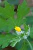 Wood Poppy