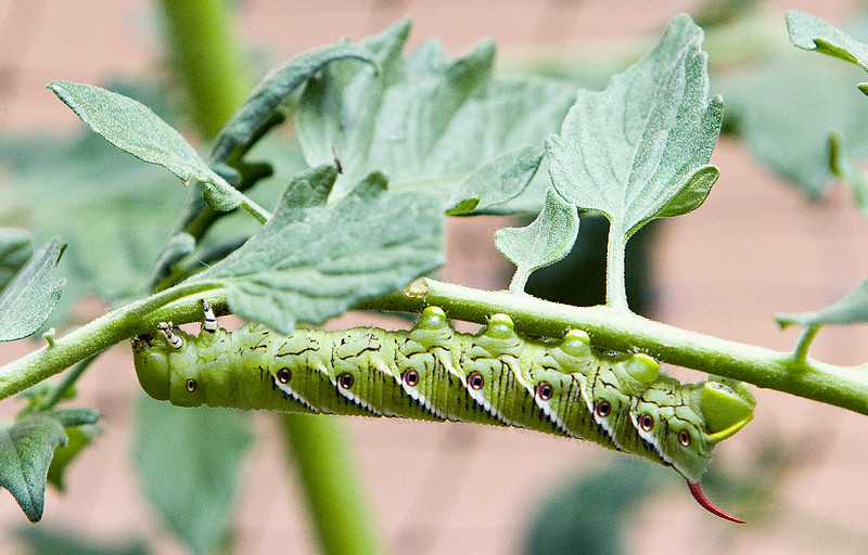 """Tomato Hornworm <br /> <br />  <a href=""""http://organicgardensite.com/?p=56"""">http://organicgardensite.com/?p=56</a>"""