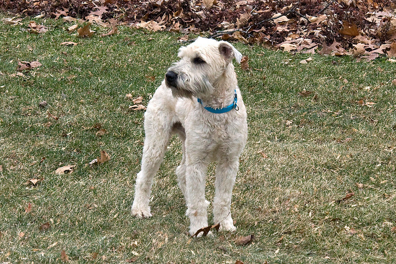 Gus was a Wheaten Terrier that stayed with us for about a week - near the Christmas season of 2008. He decided to move on, I don't believe he liked Cinco the cat... I'm sure the feeling was mutual. He saw a deer and BAM, took off like he was shot out of a gun, never to be seen again.