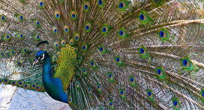 Peacock On our April 2008 Turkey trip, we visited a monetary (which as I recall had little to recommend it) except that it was home to a bunch of Peacocks. I love these birds, but they are a bit camera shy. And the background of the monastery wasn't very helpful. I got as close as I could, and cropped this one very tight to get rid of the background. I love the result.