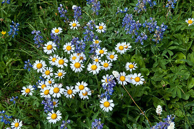 Wildflowers were near their peak at 6,000 feet, in SEPTEMBER. We've had a cold summer.