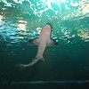<b>Shark at the <i>Passages of the Deep</i> exhibit <br>Oregon Coast Aquarium</b> <br>Newport Oregon