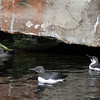 <b><i>Common Murres (& a Tufted Puffin) </i> <br>Oregon Coast Aquarium</b> <br>Newport Oregon