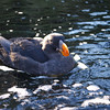<b><i>Tufted Puffin </i> <br>Oregon Coast Aquarium</b> <br>Newport Oregon
