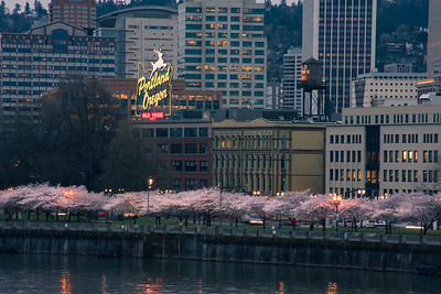 Cherry Blossoms on waterfront, Portland Oregon