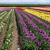 Wooden Shoe Tulip Farm <br /> Woodburn, Oregon