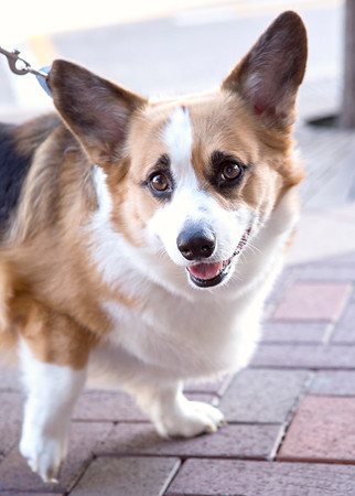 welsch corgi at outdoor summer street festival