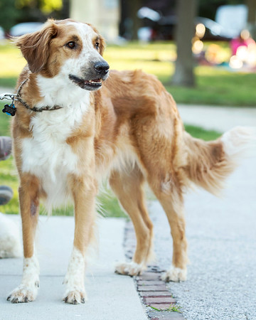 golden retriever mix dog at Evanston IL lakefront park