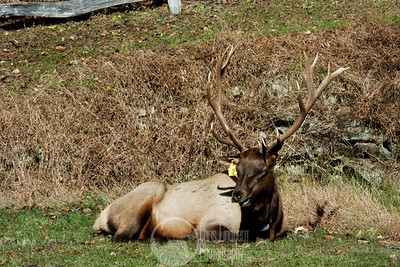 Elk at Cataloochee, Great Smoky Mountains National Park.  Elk were reintroduced to the Great Smoky Mountains in 2001.  Hence the ear tags.