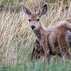 Mule Deer,  Badlands, South Dakota