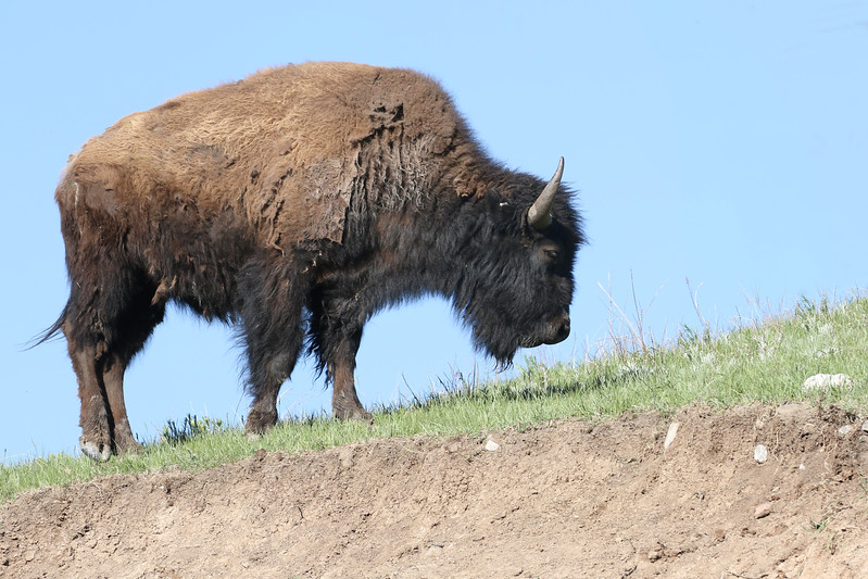 Bison, Custard State Park, South Dakota