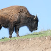 Bison, Custard State Park, South Dakota