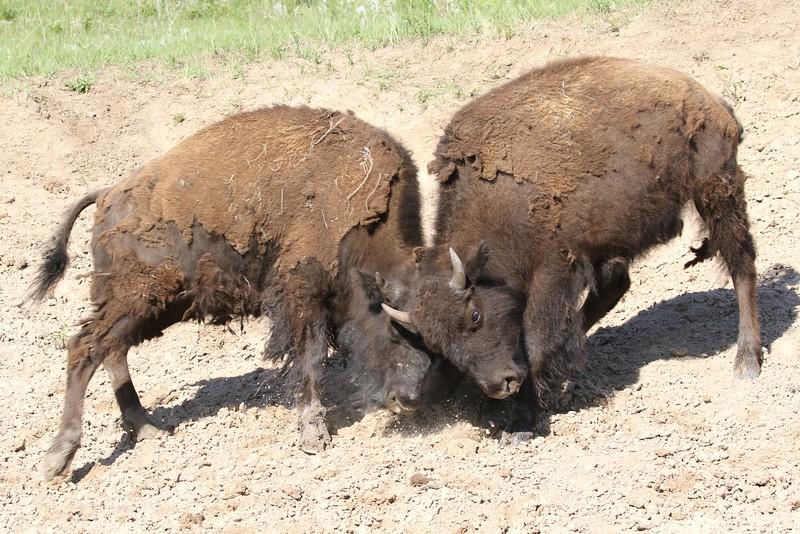 Bisons Brawl, Custard State Park