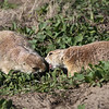 Prairie Dogs, playing  Badlands, South Dakota