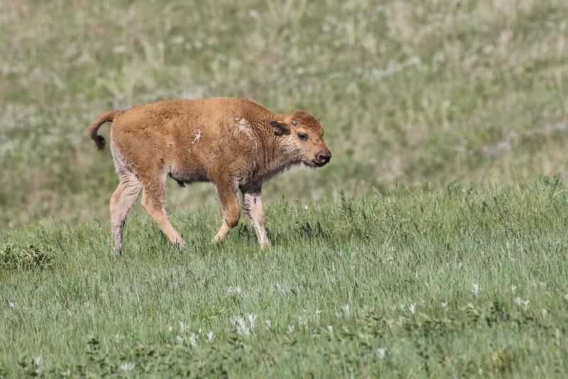 Bison Calf, Custard State Park, South Dakota