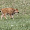 Bison Calf, Custard State Park, South Dakota