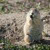 Prairie Dogs, Badlands, South Dakota