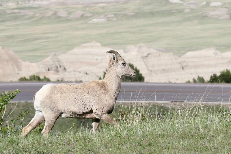Big Horn Sheep, Badlands, South Dakota