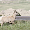 Big Horn Sheep, Badlands, South Dakota
