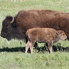 Mama Bison and Calf,  Custard State Park, South Dakota,