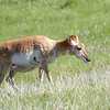 Pronghorn, Custard State Park, South Dakota