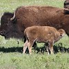 Bison calf nursing
