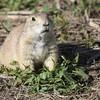 Prairie Dogs, Badlands, South Dakota