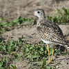 Lesser yellowlegs,  Badlands, South Dakota