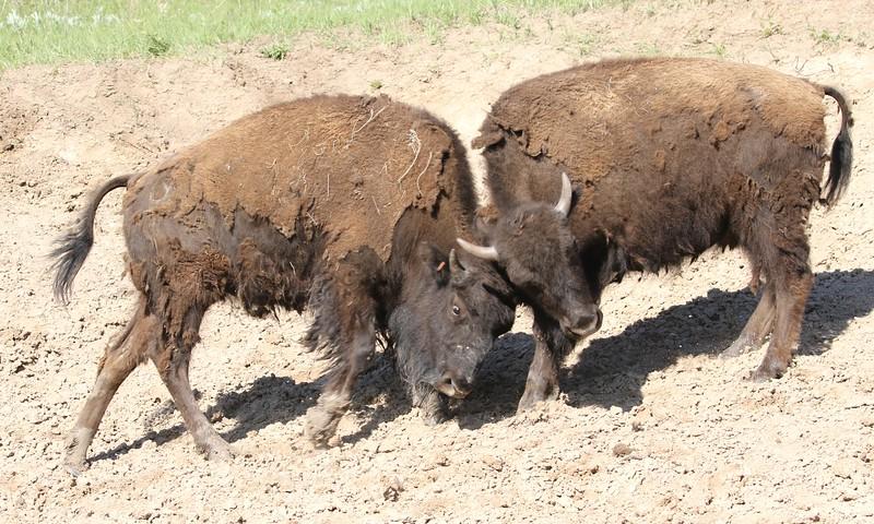 Bison butting heads, Custard State Park, South Dakota