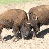 Bison butting heads, Custard State Park, South Dakota