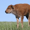 Little Bison Calf,  Custard State Park, South Dakota