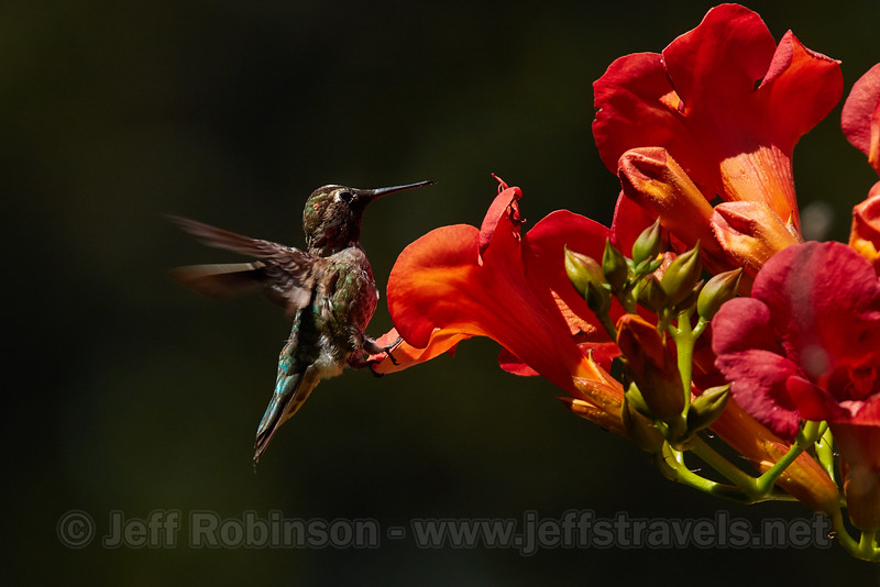 Humming Bird in flight by flowers (6/10/2016, by the trellis in my front yard)<br /> 150-600mm F5-6.3 DG OS HSM | Sports 014 @ 524mm f8 1/1250s ISO400