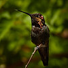 Humming Bird on a twig (6/10/2016, by the trellis in my front yard)<br /> 150-600mm F5-6.3 DG OS HSM | Sports 014 @ 600mm f8 1/1250s ISO400
