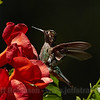 Humming Bird in flight by a flower (6/10/2016, by the trellis in my front yard)<br /> 150-600mm F5-6.3 DG OS HSM | Sports 014 @ 600mm f8 1/1000s ISO500