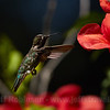 Humming Bird in flight by flowers (6/10/2016, by the trellis in my front yard)<br /> 150-600mm F5-6.3 DG OS HSM | Sports 014 @ 600mm f8 1/1250s ISO400