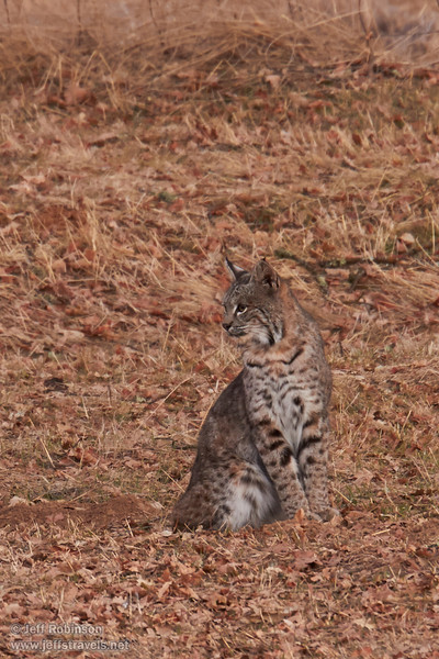 A bobcat sitting in my field.