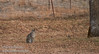 A bobcat out by the oak tree line in my field