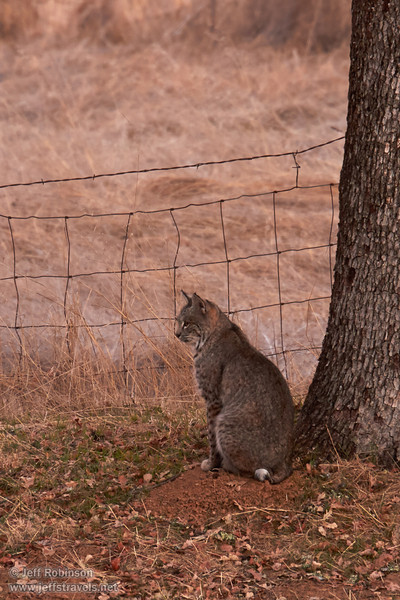 A bobcat sitting so you can see its short tail with its white tip.