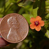 Penny (for size reference) beside Scarlet Pimpernel (Anagallis arvensis), a tiny orange flower with 5 petals, yellow stamen, and a violet ring in the middle (5/27/2016, my field by the fence where I cut over to the common area)<br /> EF100mm f/2.8L Macro IS USM @ 100mm f13 1/250s ISO800