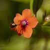 Insect feeding on Scarlet Pimpernel (Anagallis arvensis), a tiny orange flower with 5 petals, yellow stamen, and a violet ring in the middle (5/27/2016, my field by the fence where I cut over to the common area)<br /> EF100mm f/2.8L Macro IS USM @ 100mm f11 1/250s ISO400