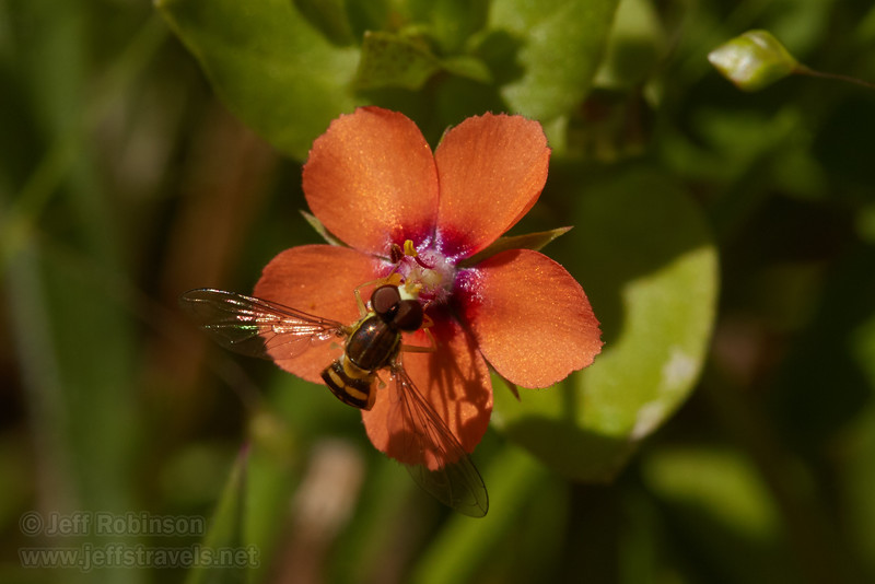 Insect feeding on Scarlet Pimpernel (Anagallis arvensis), a tiny orange flower with 5 petals, yellow stamen, and a violet ring in the middle (5/27/2016, my field by the fence where I cut over to the common area)<br /> EF100mm f/2.8L Macro IS USM @ 100mm f14 1/250s ISO400