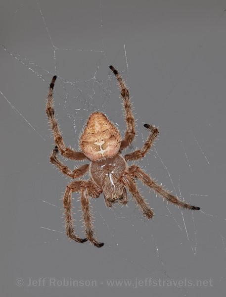 A spider by my front door (6/22/2016)<br /> EF100-400mm f/4.5-5.6L IS II USM @ 400mm f16 1/200s ISO100
