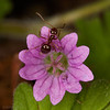 An ant on a tiny pink flower in my yard (3/25/2017, by the SW corner of my fence)<br /> EF100mm f/2.8L Macro IS USM @ 100mm f16 1/180s ISO100<br /> Two 25mm + one 14mm extension tubes