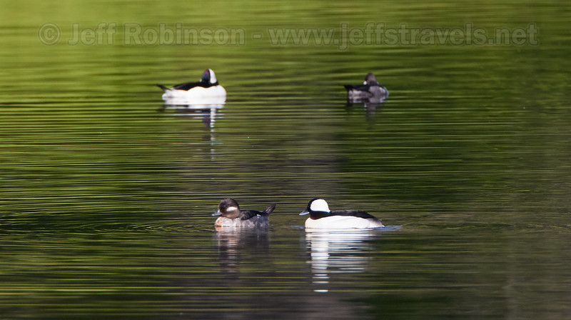 Bufflehead (ducks) with reflections. The males have the large white patch on their head (3/23/2016, Deer Hills Lake)<br /> TAMRON SP 150-600mm F/5-6.3 Di VC USD A011 @ 600mm f8 1/1250s ISO500