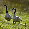 Geese #1 and 5 goslings in my field (4/3/2020,)<br /> TAMRON SP 150-600mm F/5-6.3 Di VC USD G2 A022 @ 552mm f7 1/500s ISO400