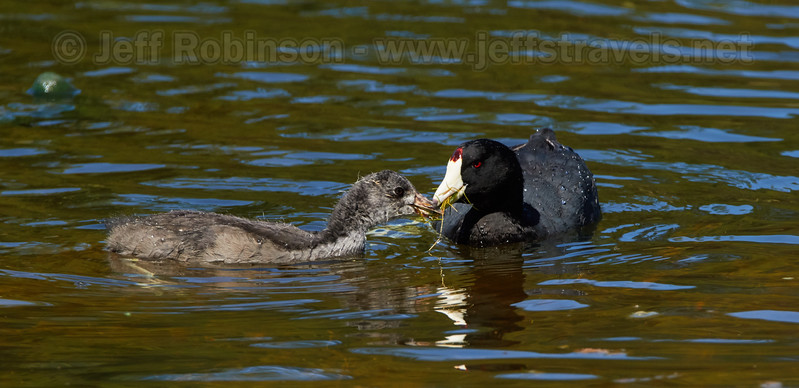 An American Coot and her large chick (7/22/2016, Deer Hills Lake)<br /> TAMRON SP 150-600mm F/5-6.3 Di VC USD A011 @ 483mm f8 1/1000s ISO400