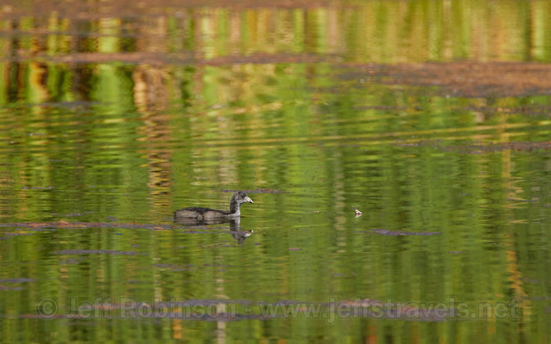 A baby or juvenile American Coot (7/22/2016, Deer Hills Lake)<br /> TAMRON SP 150-600mm F/5-6.3 Di VC USD A011 @ 600mm f8 1/800s ISO400